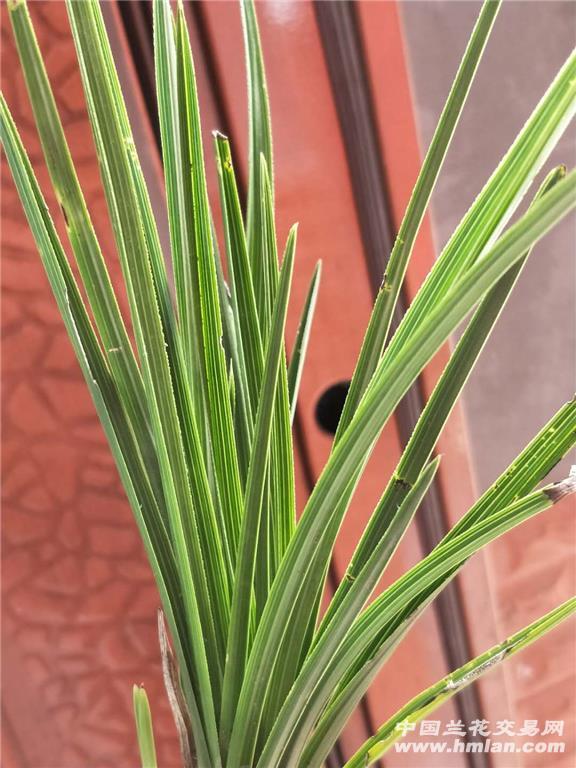 下山惠兰龙根矮种类水晶尖叶型草四代一个样图片