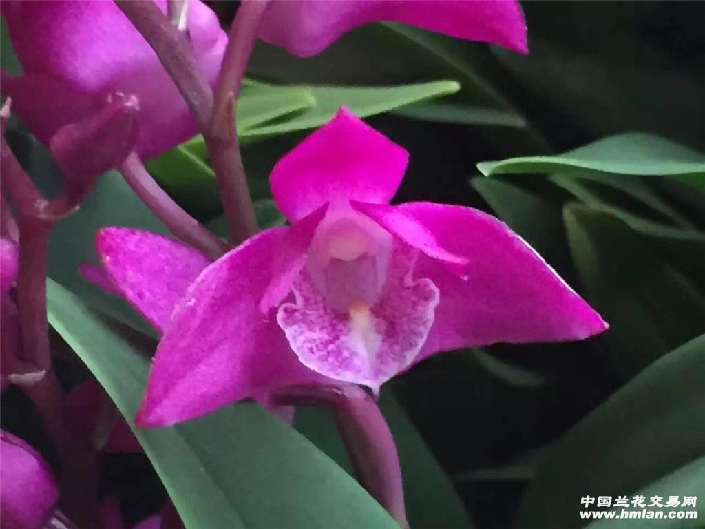 澳洲香水石斛,50喵25杆花,原盆发货,实物拍摄