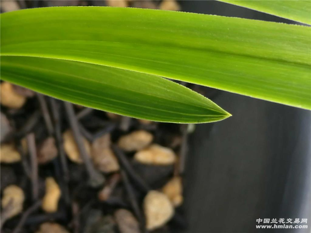 蕙兰矮种带艺