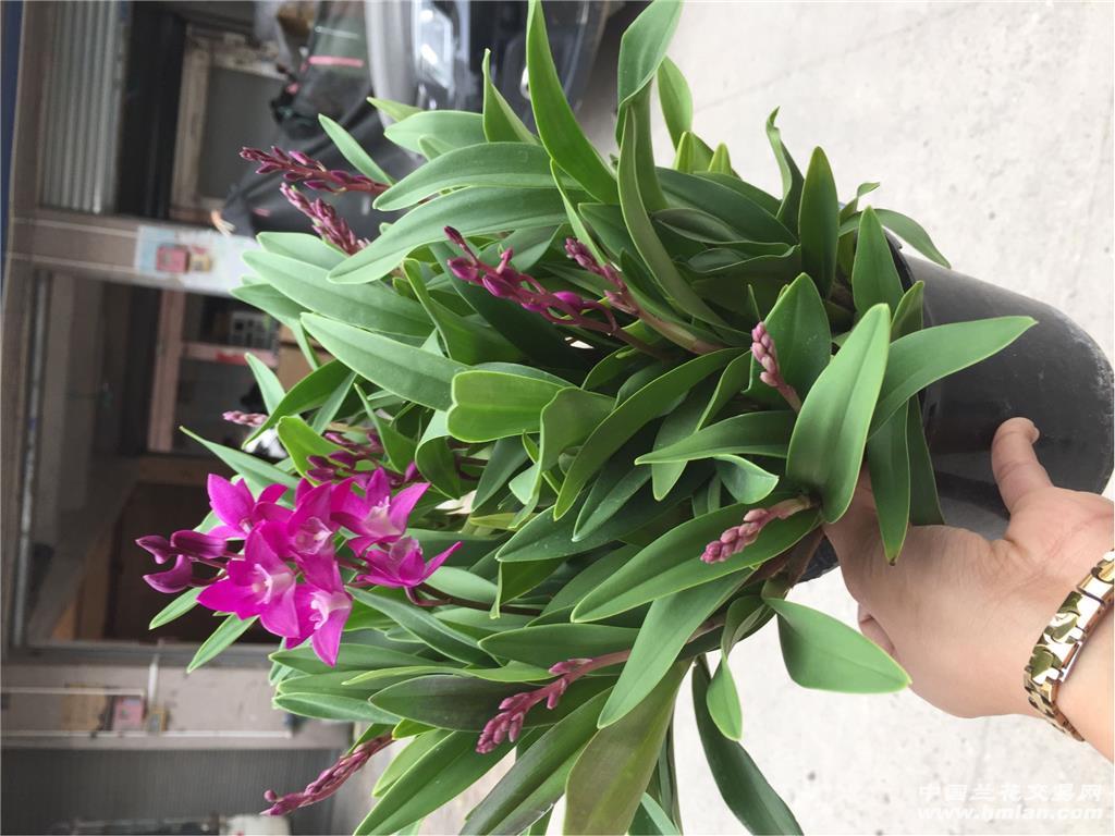 澳洲香水石斛,一盆55喵,原盆发货