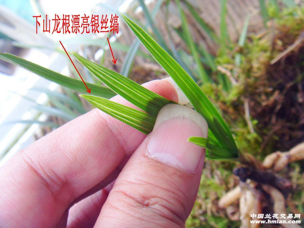 四川峨眉山下山的漂亮叶型龙根春兰漂亮银丝艺草图片