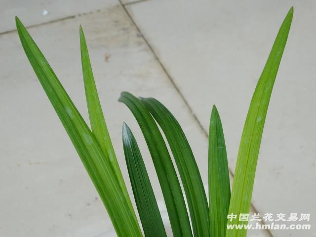 自然栽培春剑名品 大邑梦圆;2特壮苗带3芽 - 中国兰花