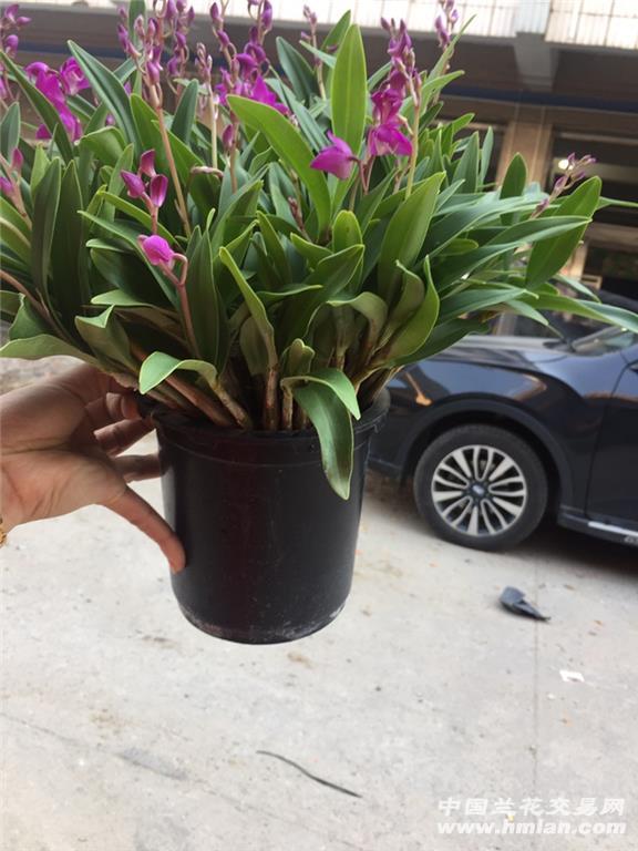 澳洲香水石斛,原盆发货,60喵30杆花