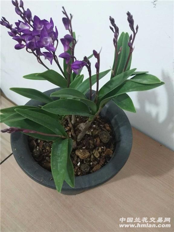 澳洲香水石斛