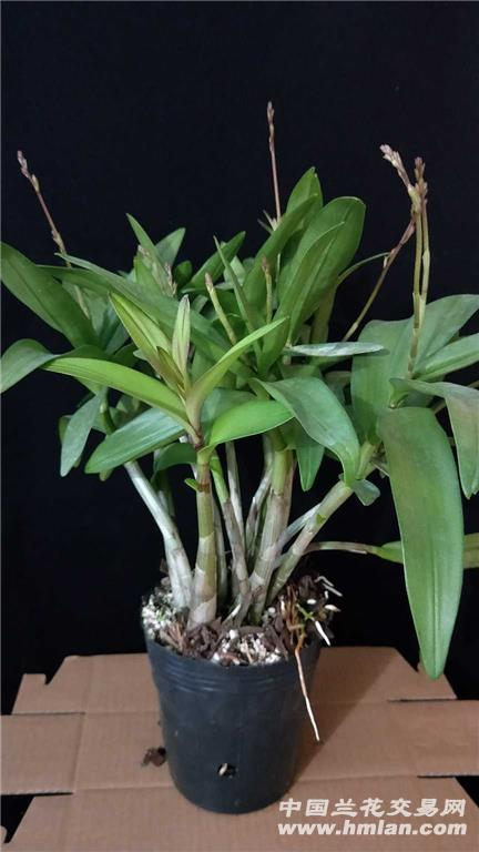 紫蝶澳洲香水石斛