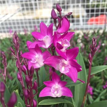 澳洲香水石斛1盆40多苗2