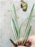 北极星子母苗带2芽