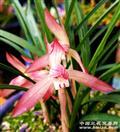 春兰新品胭脂红花