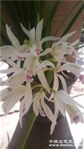 雪兰       出售l苗2大芽1花苞花