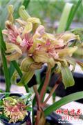 新品红树形奇花-神州礼花3苗带1花苞