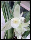 大圆舌莲瓣素花三苗