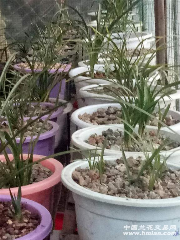 年了主要品种有蕙兰异草,丝草变异草斑草,春兰有斑草和丝草目前